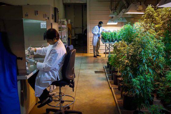 САЩ разрешиха отглеждането на канабис за научни цели