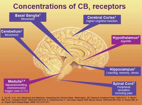 Как канабидиолът влияе на мозъка