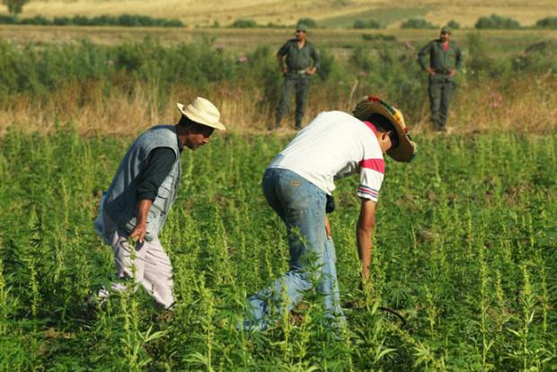 Мароко на път да узакони производството на канабис