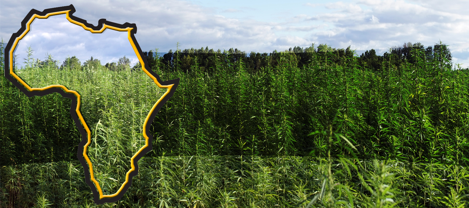 Експерти - Африка предстои да стане водещ производител на канабис
