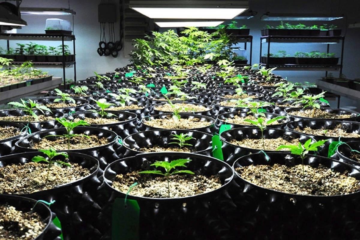 Бизнесът с канабис процъфтява след легализацията в Канада