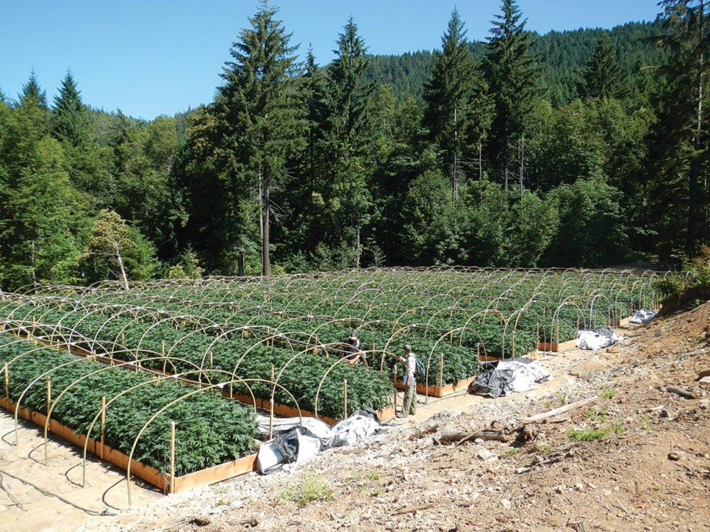 Канадска компания ще изнася коноп, произведен в България и Македония