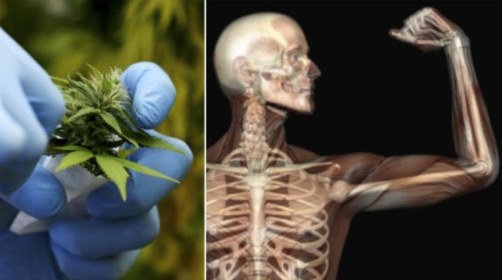 Костната система и заздравяването й с канабидиол