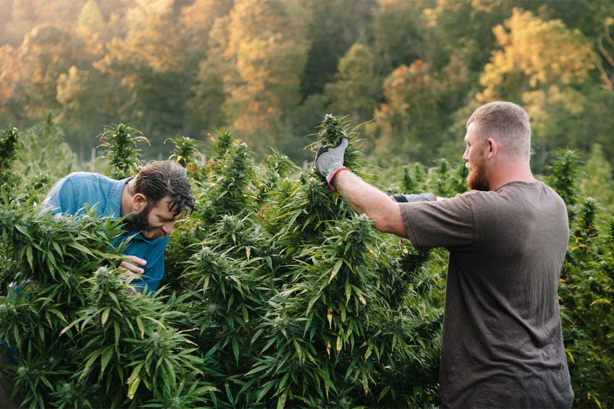 Условия и ред за издаване на разрешение за отглеждане на канабис - растения от рода на конопа