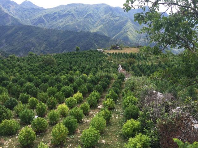 Албания - рай за канабиса или Колумбия на балканите?