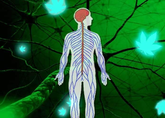 Как канабиноидите забавят множествената склероза