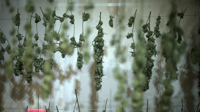 Нова наредба ще определя условията за отглеждане на канабис за храна и фураж