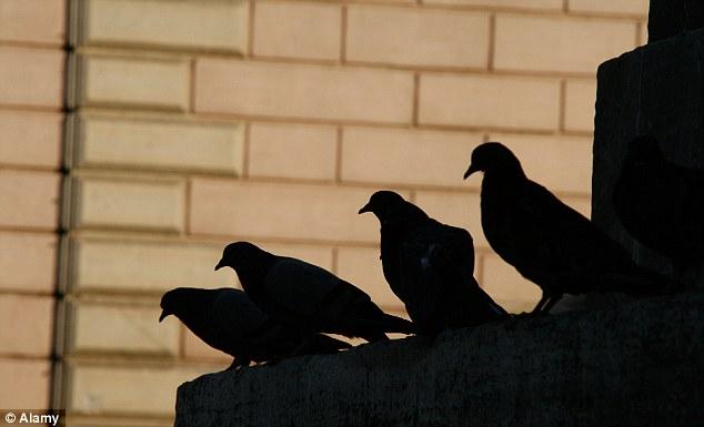 Арестувани са дилъри, които са използвали гълъби, за да продават марихуана