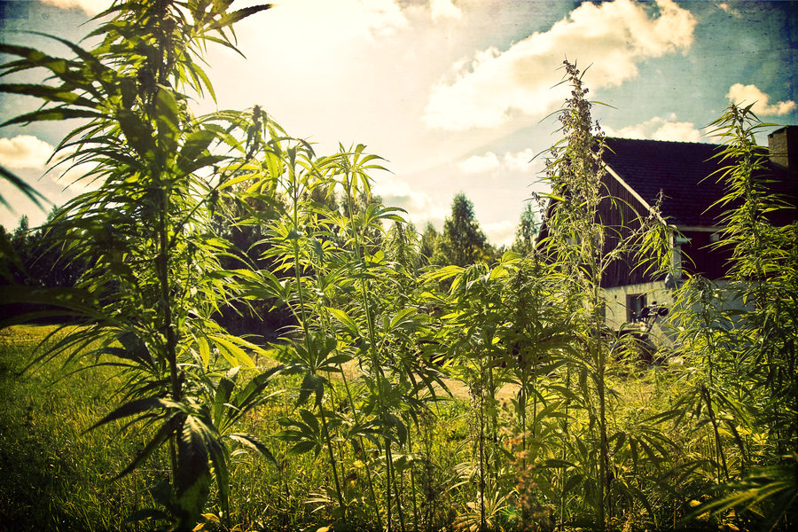 Финландците са целеустремени да декриминализират растението канабис