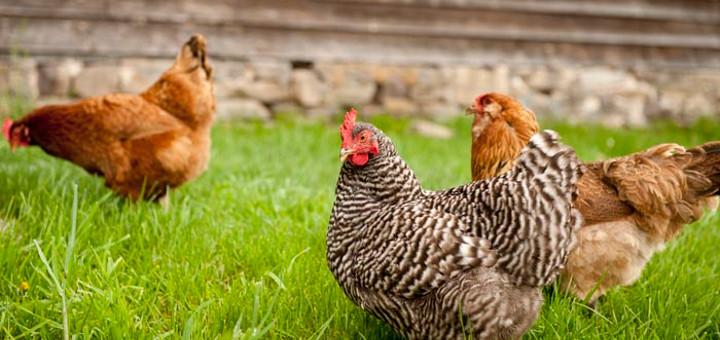 Кокошки на конопена диета снасят богати на омега-3 яйца