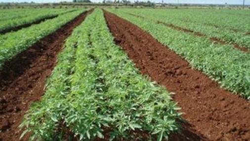 Конопът спомага за плодородието на почвата