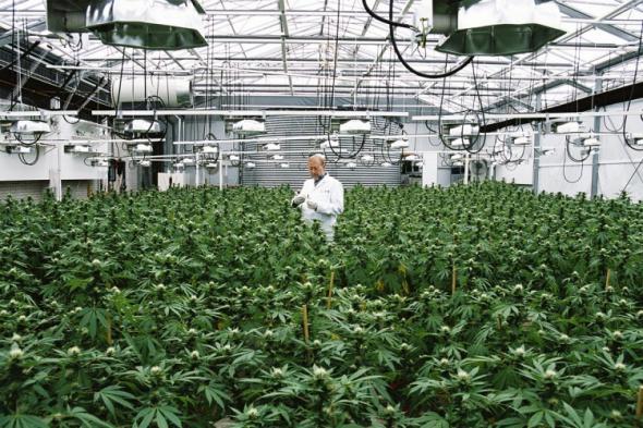Необходимостта и терапевтичното значение на употребата на марихуана и нейни деривати за медицински цели