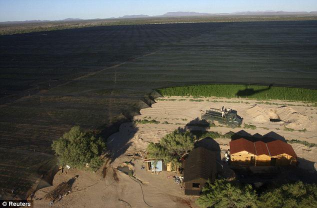 Откриха най-голямата конопена плантация в Мексико