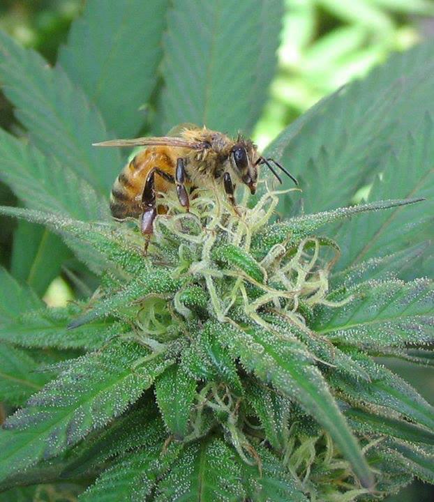 Пчели събиращи прашец от канабис? Успехът на един пчелар
