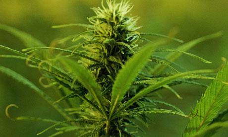 Растението канабис е по-ефективно лекарство от фармацевтичните канабиноиди продавани в аптеките