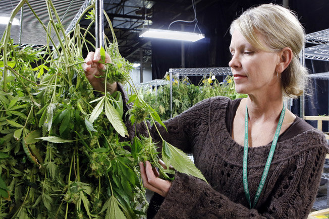 След легализацията в Колорадо не се забелязва ръст  в употребата на канабис