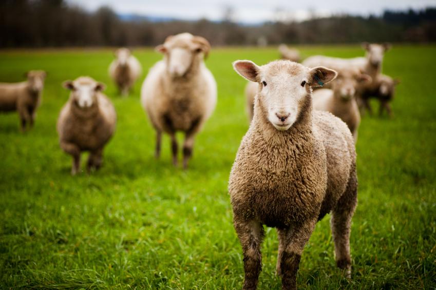 Стадо овце изяжда огромно количество канабис, по погрешка