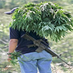 Унищожаването на конопени растения в САЩ е намаляло драстично