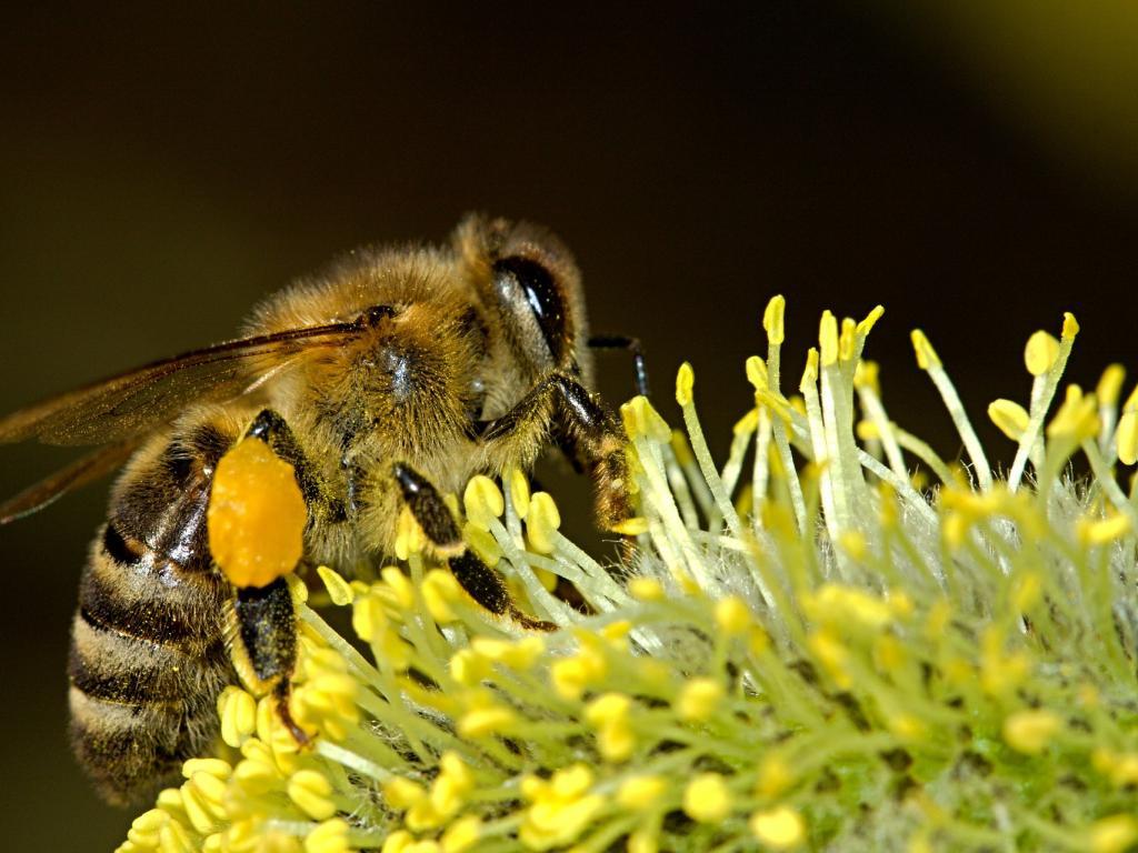 Конопен екстракт защитава пчелите от пестициди
