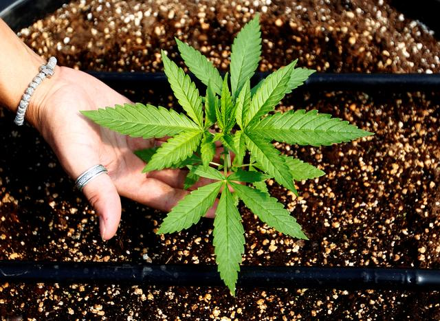 Легализацията в Македония - всеки ще може да отглежда 2-3 растения вкъщи
