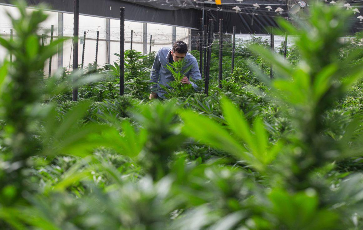 Социалисите в Белгия искат отглеждане и продажба на канабис